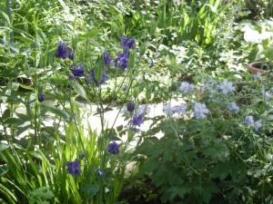 columbine & cranesbill geranium